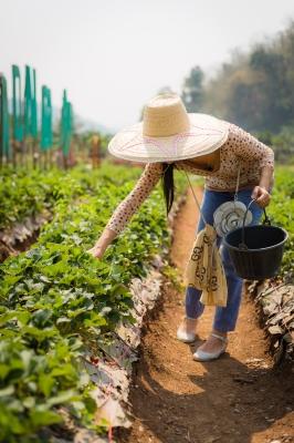 harvesting fruit